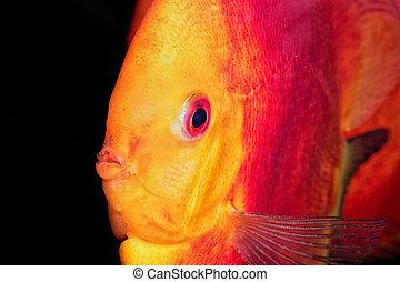 Nice portrait of red-orange discus fish - Beautiful portrait...