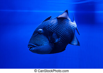 Fish Titan Triggerfish floats. - Titan Triggerfish floats in...
