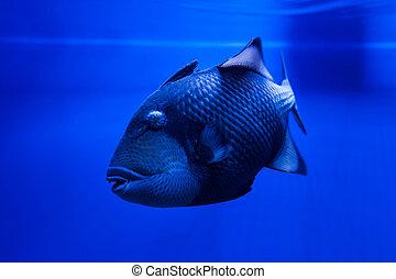 Fish Titan Triggerfish floats. - Titan Triggerfish floats in...