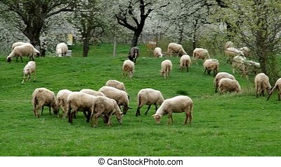 Flock of sheep grazes in a meadow with blossoming cherry...