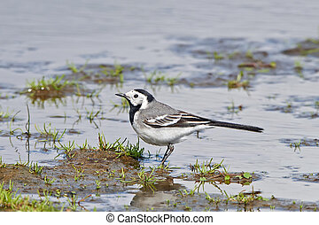 White wagtail (Motacilla alba) - White wagtail standing in...