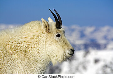 Mountain Goat seen in Colorado.