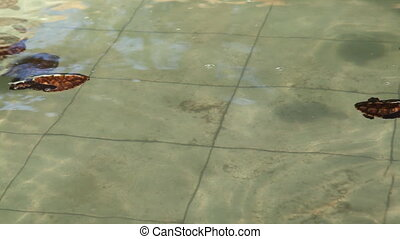 Young turtles into swiming pool - Gili Meno island, Lombok ,...