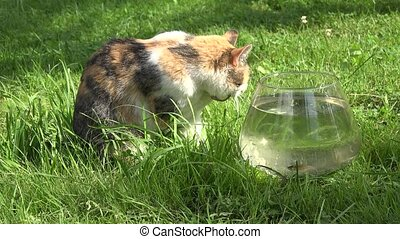 Cat licking wet claws paws sitting near glass aquarium with fishes on grass. Closeup.