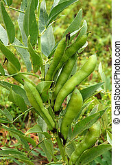 Broad beans in Vegetable Garden - Ripening large pods of...