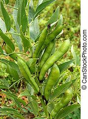 Broad beans in Vegetable Garden