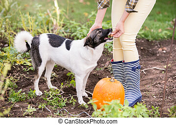 Unrecognizable woman with dog harvesting pumpkins, autumn...