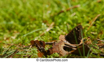 Meadow brown Butterfly resting on the shriveled leaf.