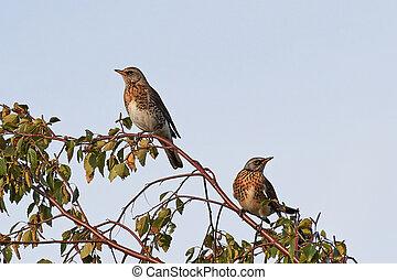 Fieldfare Turdus pilaris - Two fieldfares resting in a tree...