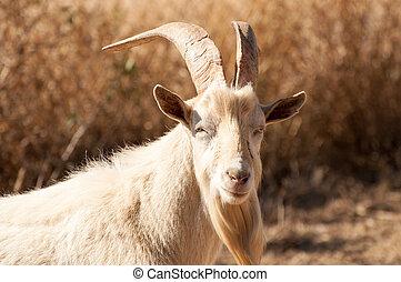 Portrait of a Billy Goat - Portrait of a Saanen billy goat...