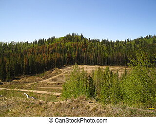 Mountain pine beetle infestation - Pine trees killed in a...