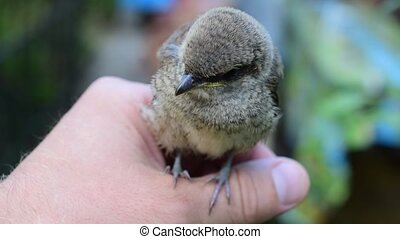 Whitethroat fledgeling sitting on human hand outdoors. -...