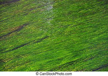Algae in a river