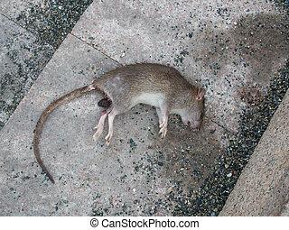 dead poisoned rat lying on a sidewalk - dead rat lying on a...