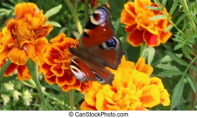 peacock eye on the marigolds - beautiful butterfly of...