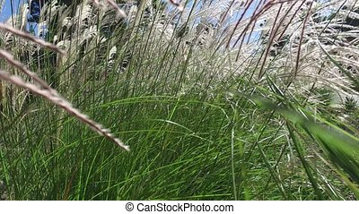 Close up shot of grass swaying gently in the wind against the sky