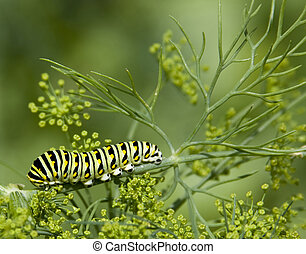 black swallowtail caterpillar papilio polyxenes on garden...