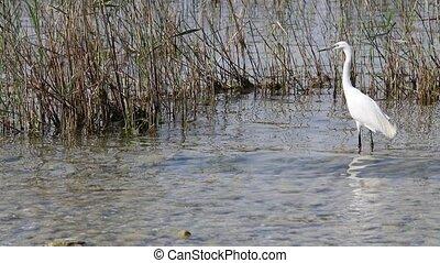 white heron at lake
