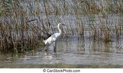 white heron at lake