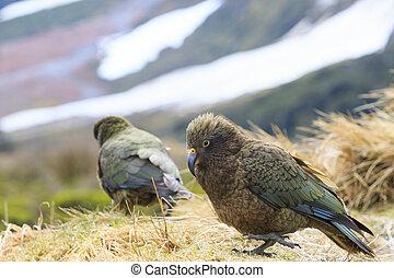 Seeland, natürlich, papagai,  kea,  wild, neu, Vogel