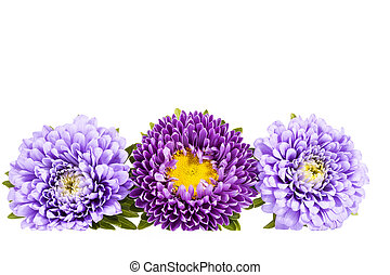 Aster flowers isolated on white background . - Aster flowers...