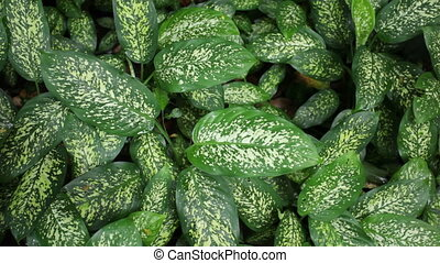 green dieffenbachia with little movement and audio