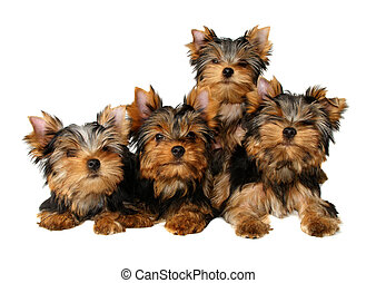 Four puppies - Four yorkshire puppies isolated on white
