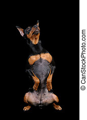 Black Miniature Pinscher isolated on black background
