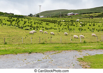 sheep grazing on field of connemara in ireland - animal...