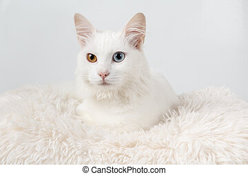 Cute white odd-eyed cat - White cat with different colored...