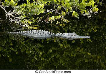 Alligator - Wild alligator Lurking in the dark waters of...
