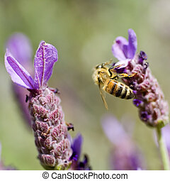 Honey Bee on Lavender - Honey Bee gathering pollen on French...