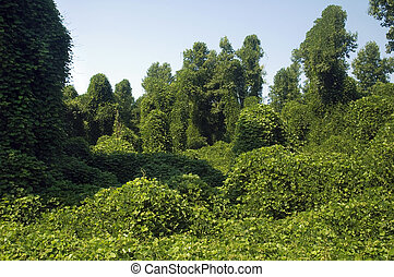 Kudzu - The Highly invasive Kudzu plant choking out a forest
