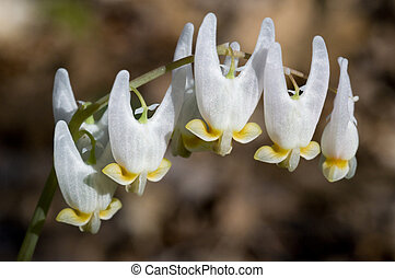 Dutchmans Breeches - Macro image of the flower of Dutchmans...