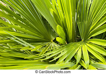 Palm background - Palm Frond abstract green background...