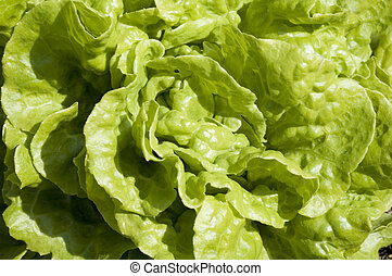 Lettuce background texture - Close up of garden lettuce,...