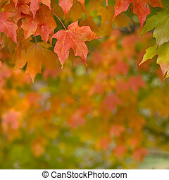 Autumn Maple Leaves - Beautiful vibrant red and green Maple...