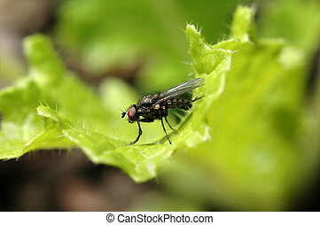 House fly on salad - Close-up of fly on lettuce