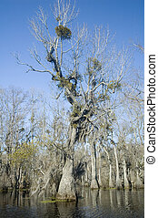 Cypress Swamp - Spanish moss and mistletoe in cypress tree