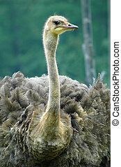 ostrich - Beautiful portrait of an ostrich