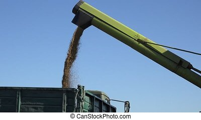 Freshly harvested grain cereal falling into truck trailer on...