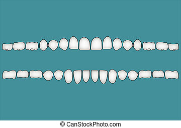 Teeth human front side - Teeth a person's front side, the...