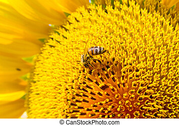 Summer scene about bees that pollinate sunflower. Bee...