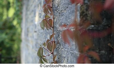 Red grape vine branch climbs brick wall