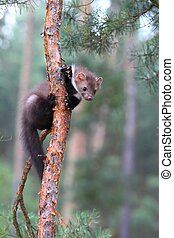 Young Marten beech, lat. Martes foina - Also known as Stone...