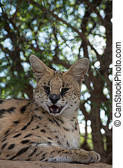 Serval relaxing underneath the tree - A Leptailurus serval...