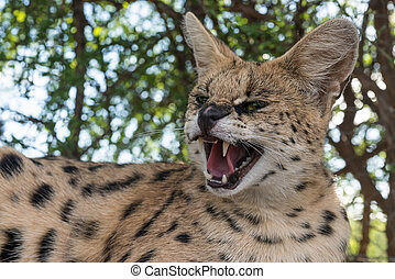 A angry hissing serval - A furious tierboskat hissing...
