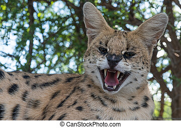 A angry serval snarling front on - A angry serval hissing...