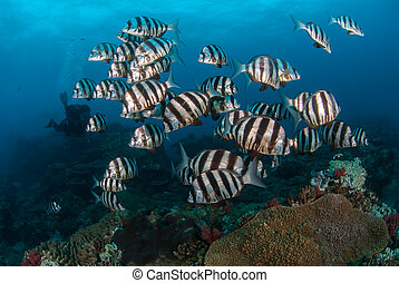 Shoal of zebra fish in clear ocean - Black and white striped...
