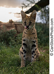 A beautiful young serval - A young serval sitting alert in...